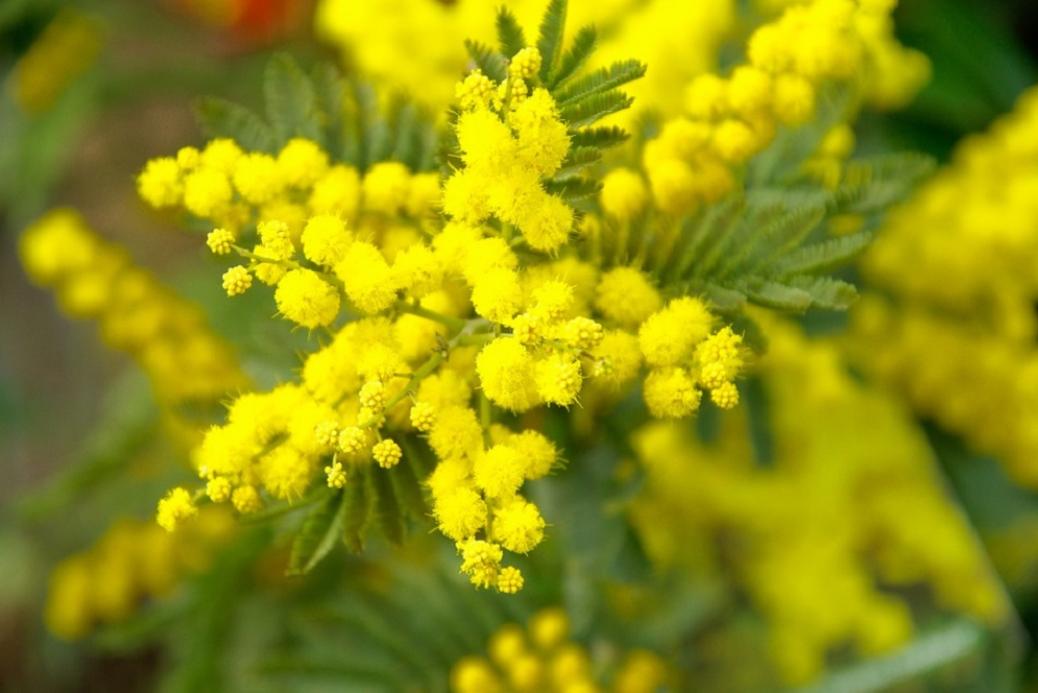 flores de mimosas
